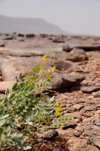 Again flowers, also in the Mauritanian desert