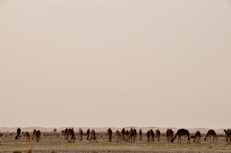 Camels off to graze