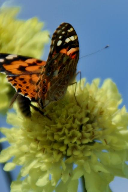 Vlinder en zijn Muse