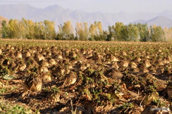 Sugarroot fields