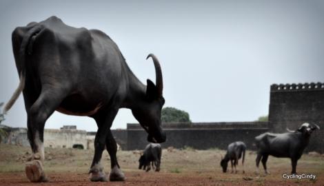 Sturdy Buffalo