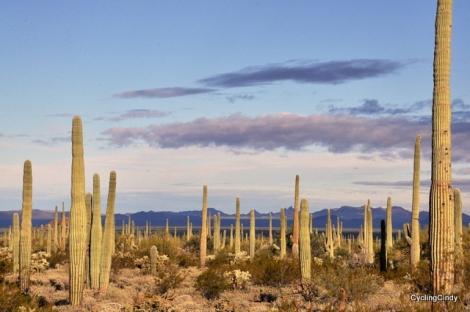 Cacti Lands
