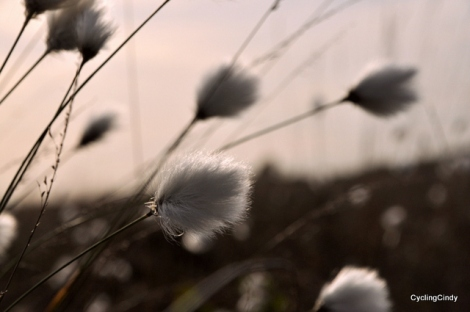 Cotongrass