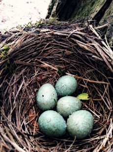 Common Blackbird eggs