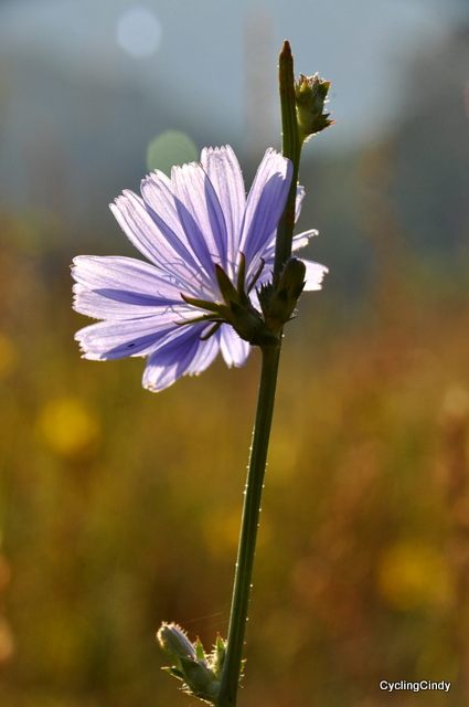 A chicory flowerring