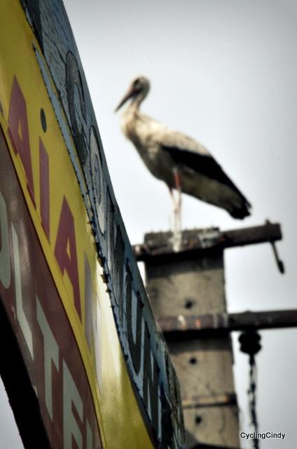 Another stork, never afraid