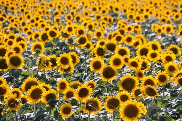 Uh.... need we see more sunflowers?