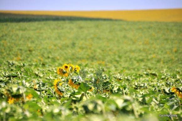 It's about sunflowers in Bulgaria