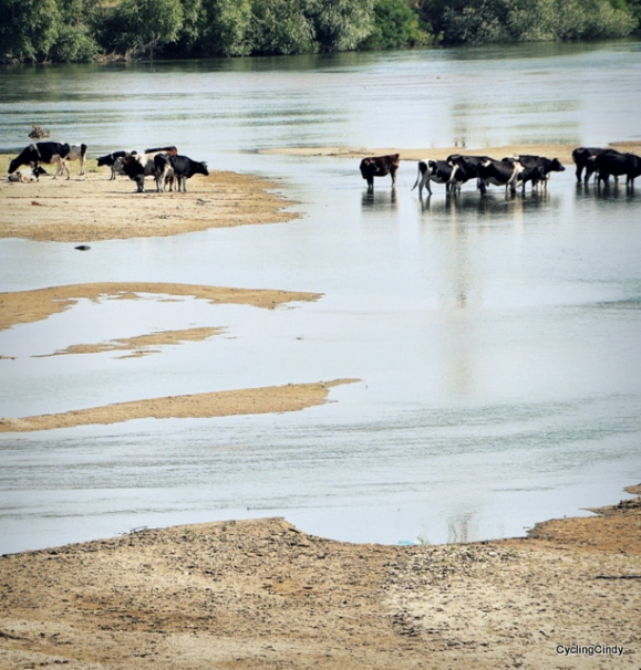 Where have we seen this before, cows are cooling down, where people are swimming
