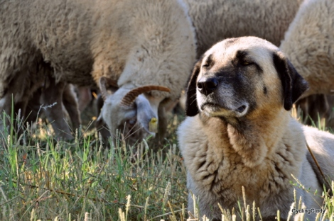 Another case of predtending to be a shepherd dog