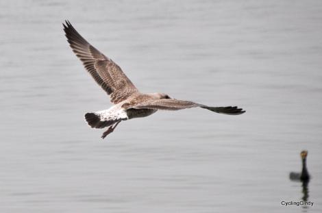 A gull flies over a cormorant