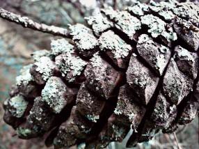 Apple frost