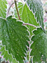 Cold nettle
