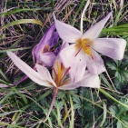 Ground is often laden with those delicate flowers