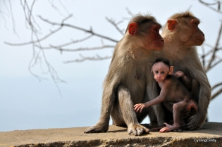It keeps deeply interesting to see monkeys, here the macaque with their babies