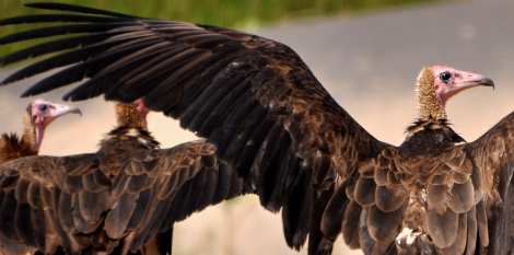 Vultures in the Gambia