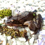 A frog in our garden, not sure if he's bitten by our cat