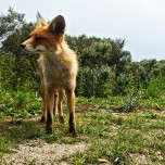 Meeting with a fox